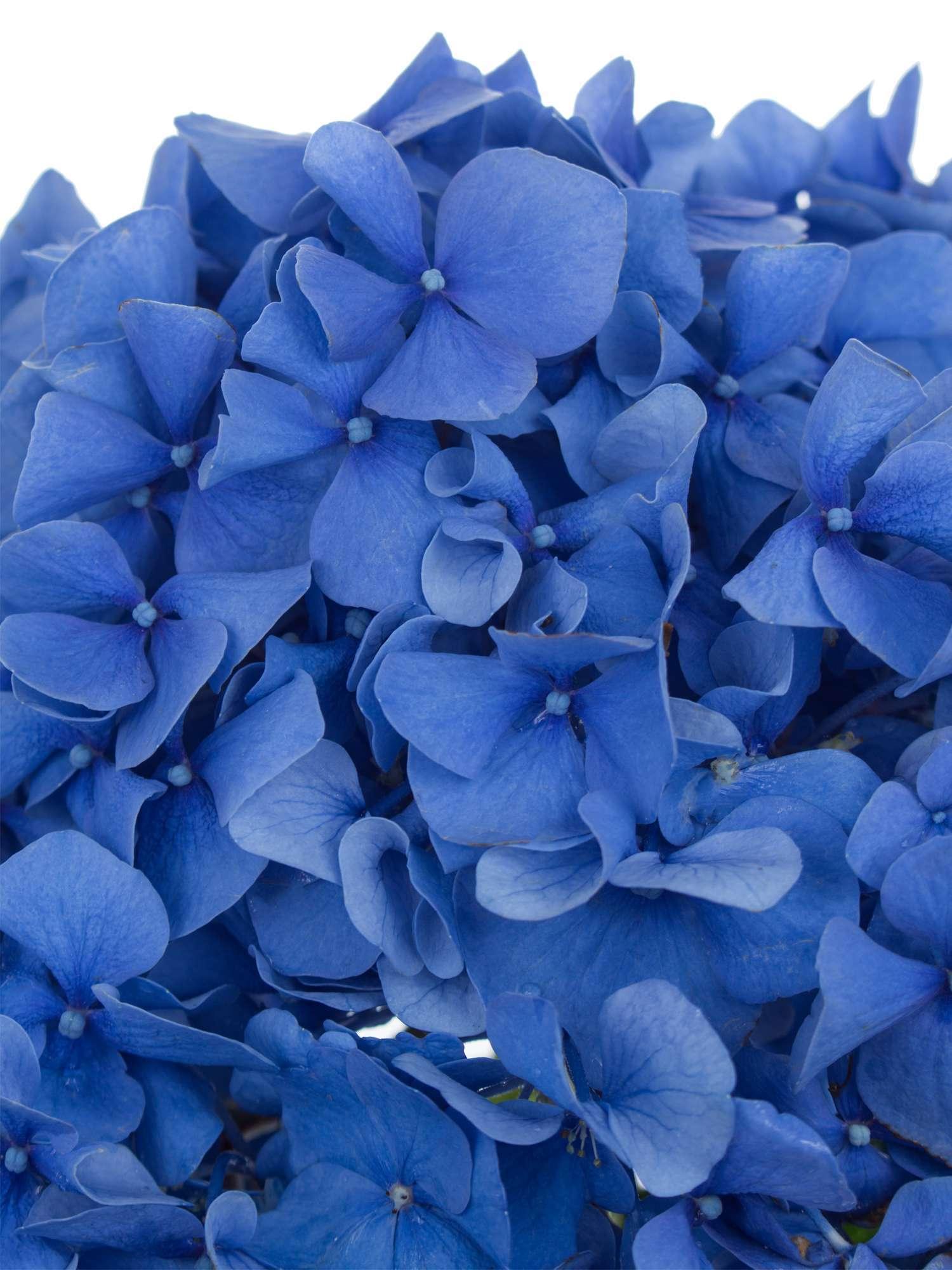 Hortensie Pimpernel Blau Bestellen Blumigo