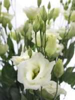 Lisianthus Rosita green gruen