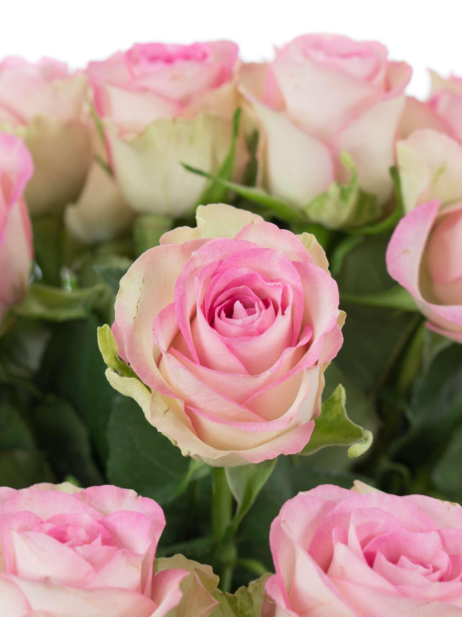 Rosen Lovely Jewel Rosa Creme Bestellen Blumigo