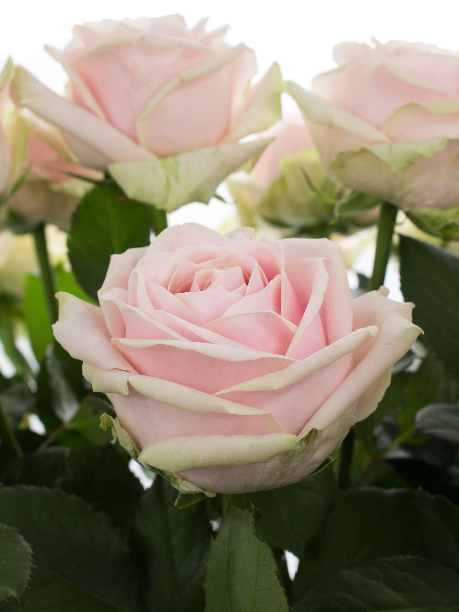 rosen sweet avalanche rosa bestellen blumigo. Black Bedroom Furniture Sets. Home Design Ideas