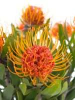 Nadelkissen Protea Saxosum orange 3