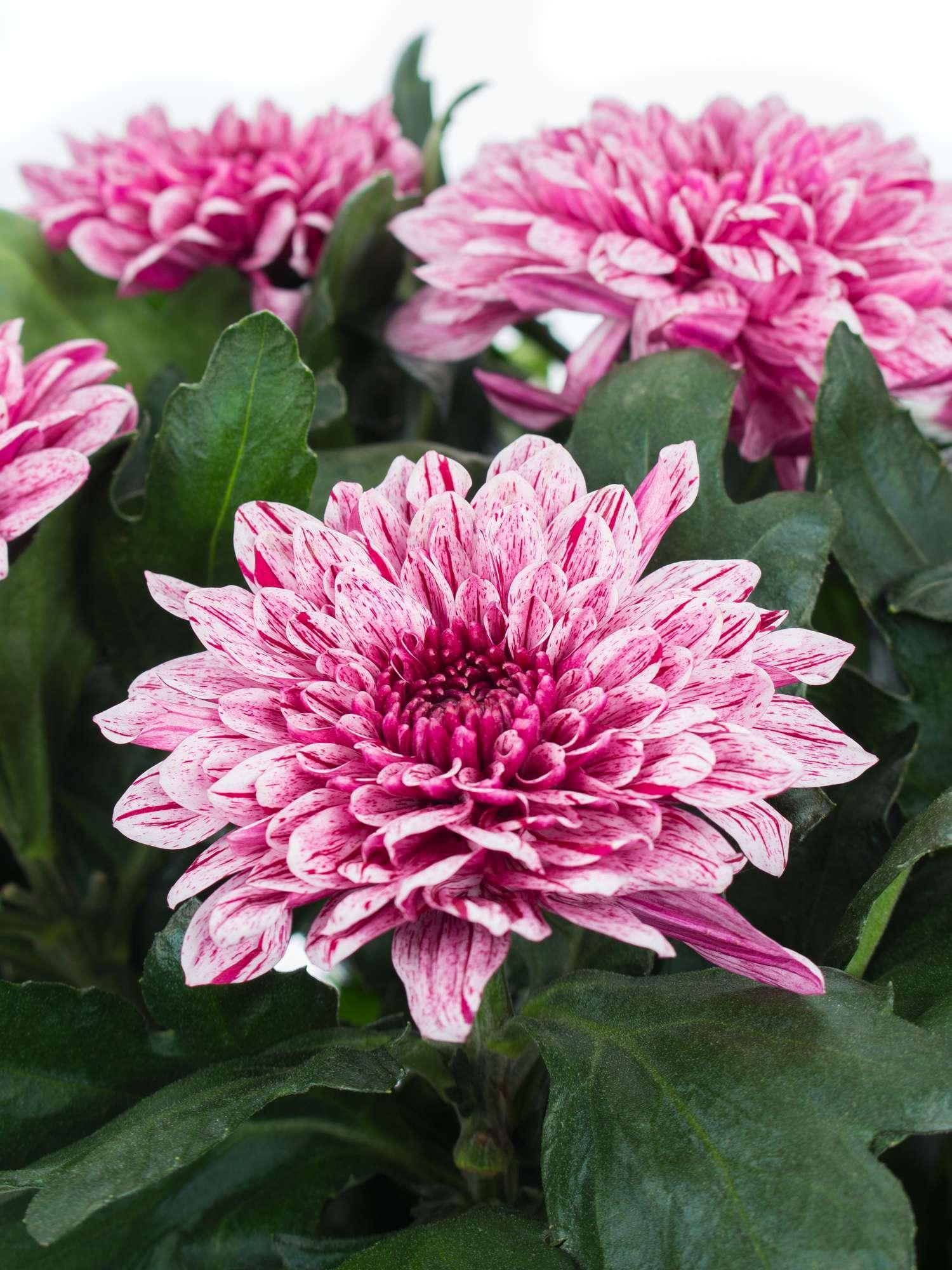 chrysanthemen pip pink wei bestellen blumigo. Black Bedroom Furniture Sets. Home Design Ideas
