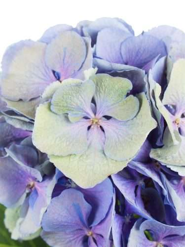 Hortensie Magical Elbtal Classic grün blau