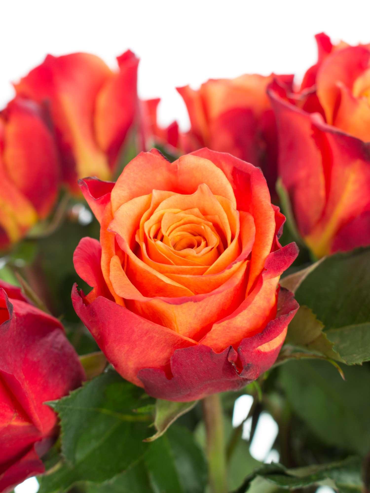 Rosen Atomic Orange Rot