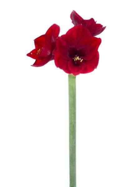 Amaryllis royal velvet dunkel rot bestellen blumigo for Amaryllis royal