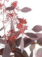 Eukalyptus Populus gefärbt