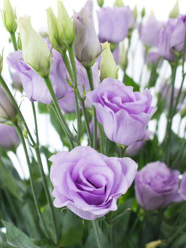 Lisianthus Rosita Lavender in Lila