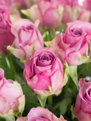 Rosen Cool Water in Pink-Lila