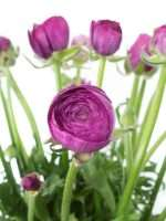 Ranunkeln Purple Jean violett