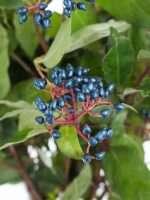 Virbournum blaue Beeren