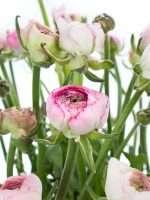 Ranunkeln Andrea Cappuccino rosa-weiss