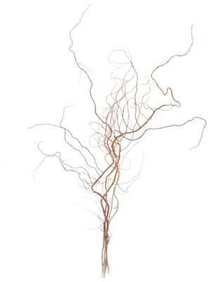 Gedrehte Weidenzweige Salix-Golden-Curls
