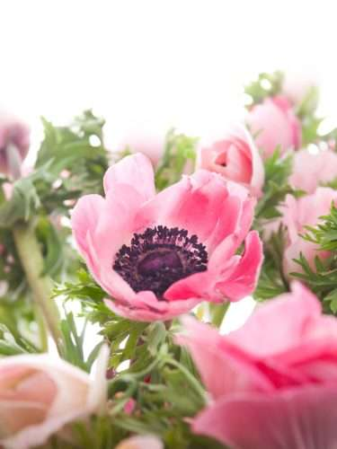 Anemone Mistral rose
