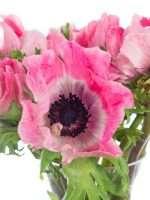 Anemon mistral Roze pink