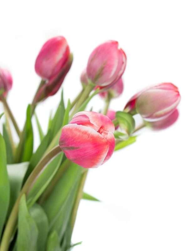 Französische Tulpen Drumline pink-creme