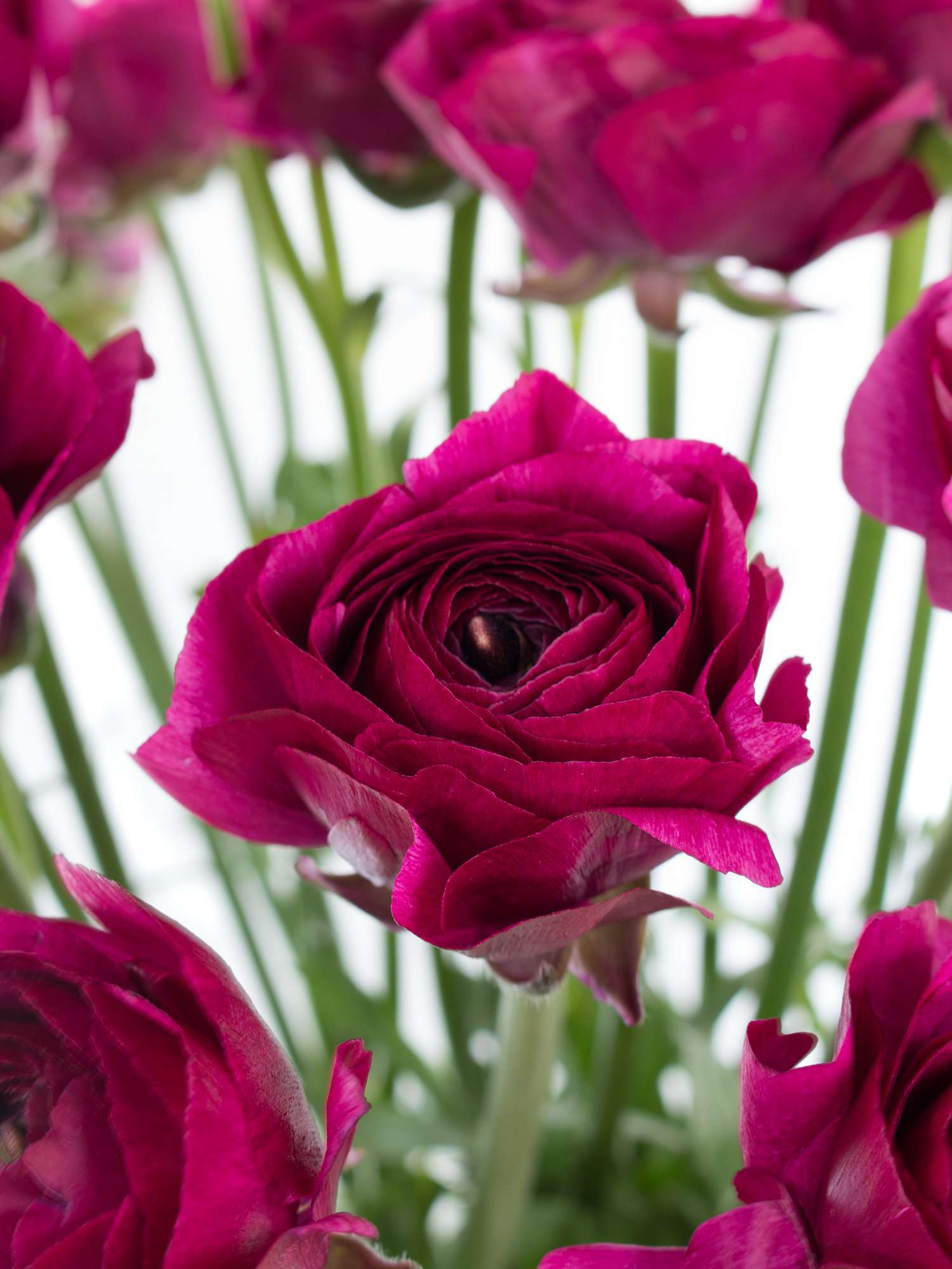ranunkeln xl cloni cherry violett bestellen blumigo. Black Bedroom Furniture Sets. Home Design Ideas