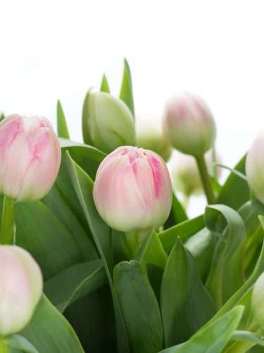 Tulpen gefüllt up stripe rosa