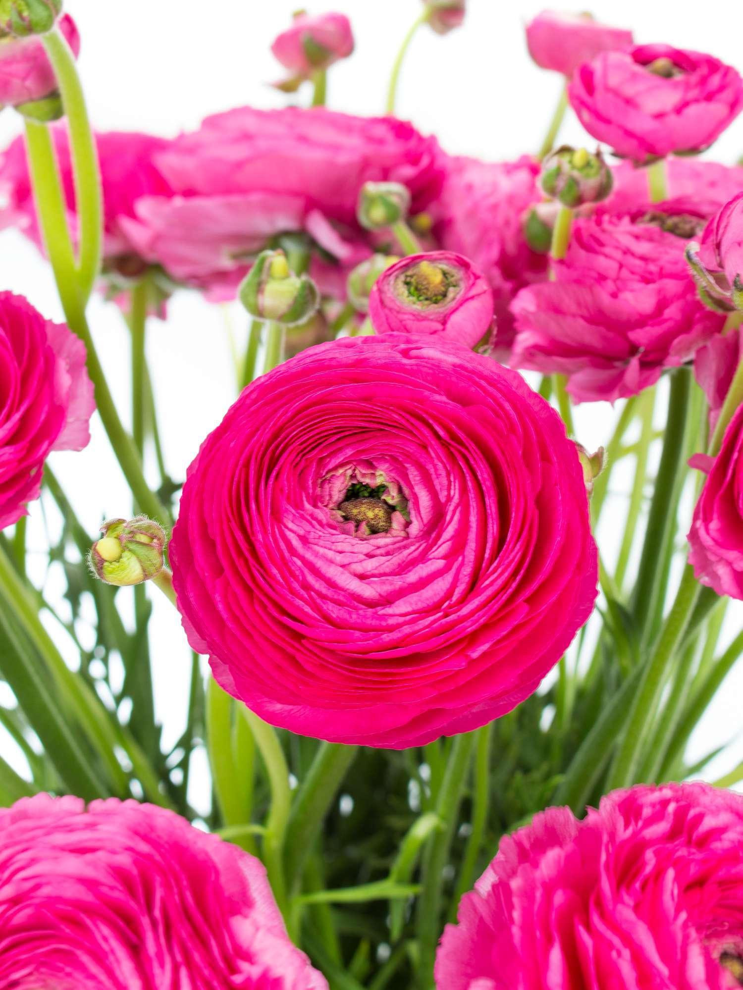 "Super Ranunkeln XL ""Cloni Rosado"" pink bestellen   Blumigo @MR_46"
