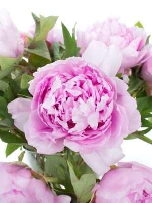 Baumpfingstrosen rosa