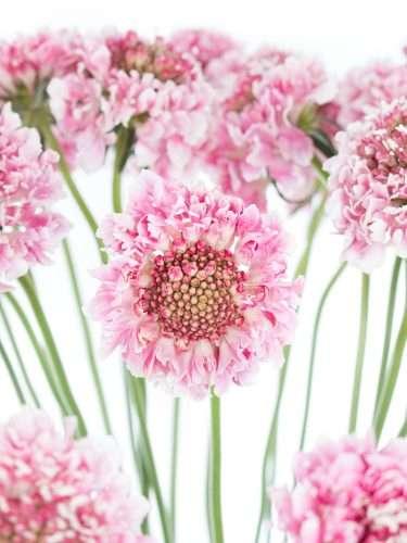Skabiosen rosa-pink