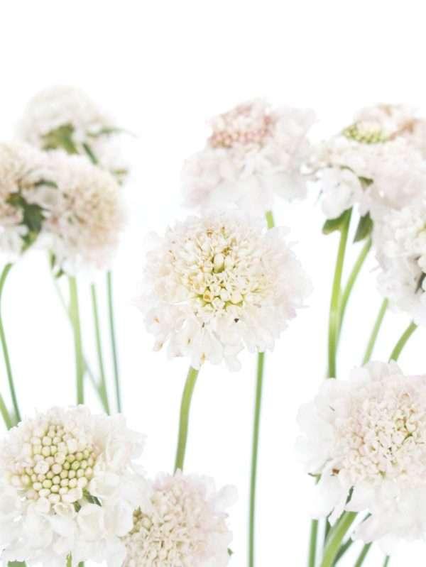 Skabiosen weiß-rosa