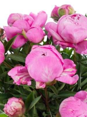 Pfingstrosen Dr Flemming rosa-pink