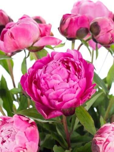 Pfingstrosen Jadwiga pink