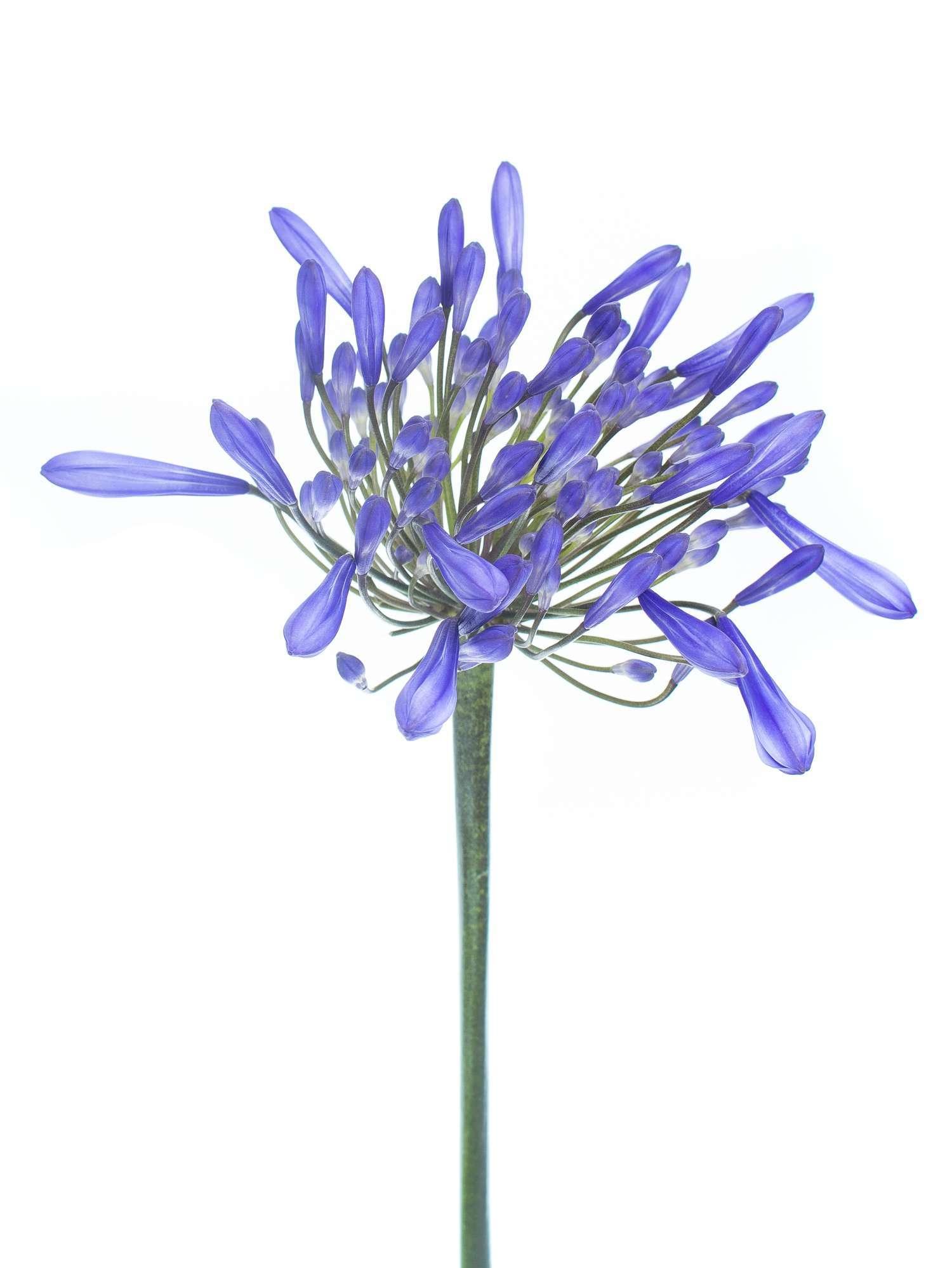 agapanthus schmucklilien dr brouwer blau bestellen. Black Bedroom Furniture Sets. Home Design Ideas