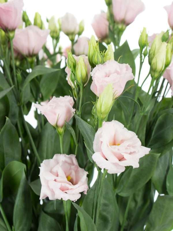 Lisianthus Arena Light Pink in Rosa