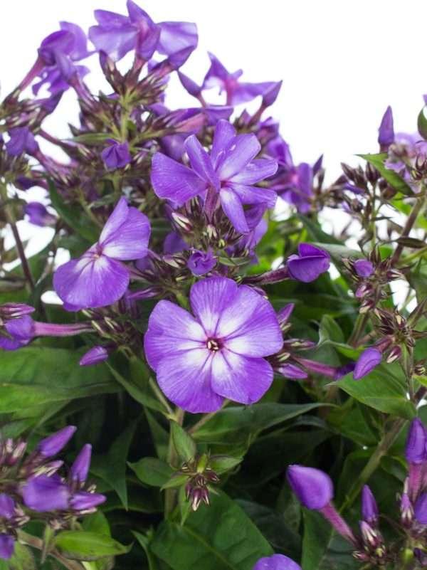 Phlox in Violett