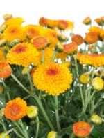 Herbstastern Bright Eye gelb orange