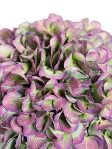 Hortensie Elbtal Classic aubergin grün