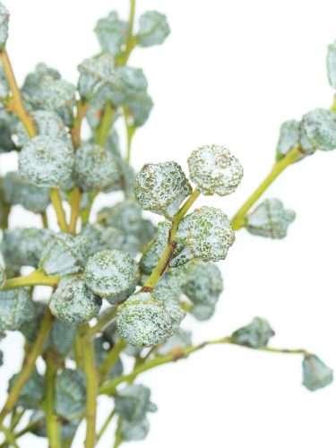Eukalyptus Beeren pur silber-blau