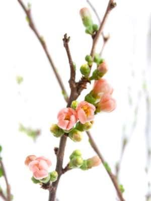 Quitten Chaenomeles Superbra apricote
