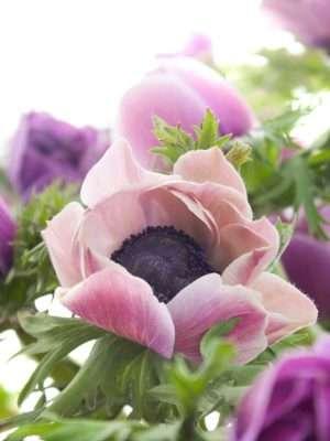 Anemonen Mistral Rarity in Violett-Weiß