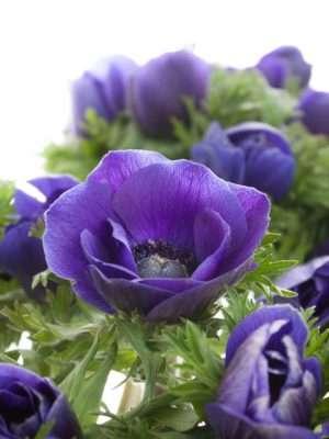 Anemonen Mistral in Blau
