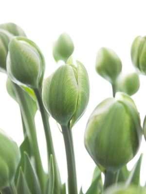 Französische Tulpen White Mountain weiss