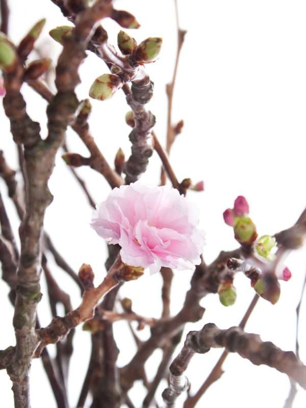 Japanische Blütenkirsche - Prunus Serrulata rosa