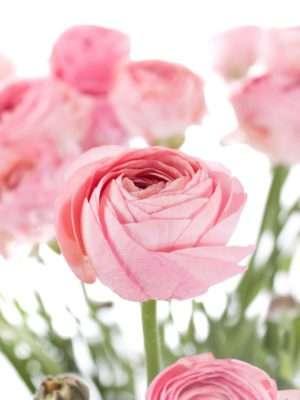 Ranunkeln XL Cloni Grand pastel rosa