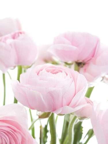 Ranunkeln XL Hanoi Pink rosa