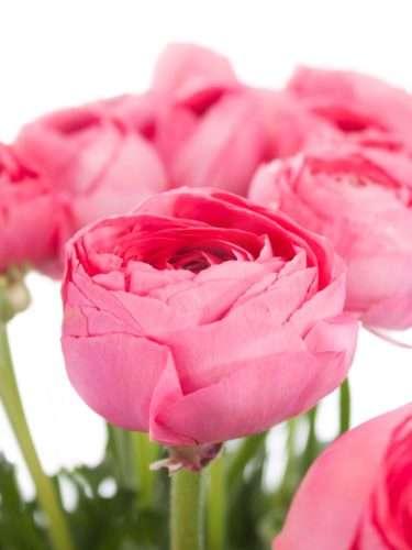 Ranunkeln Xl Cloni Fragolino pink
