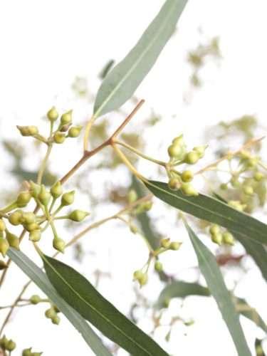 Eukalyptus Exotica mit Fruchtständen