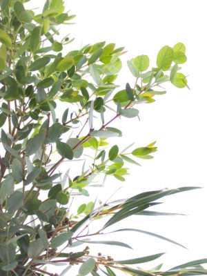 Eukalyptus Gemischt grün
