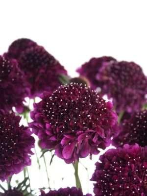 Skabiose Velvet Scoop violett