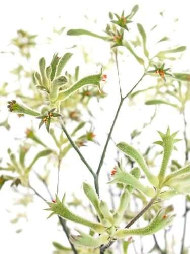 Kängurupfote Anigozanthos grün