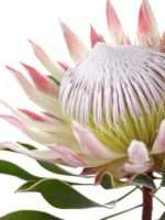 Protea Cynaroides rosa-weiss (3)