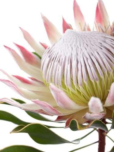 Protea Cynaroides in Rosa-Weiß