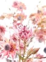 Serruria Florida -Blushing Bride pink (3)