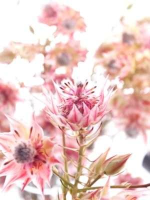 Serruria Florida -Blushing Bride pink