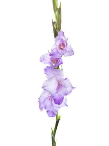 Gladiolen Milka hell-violett